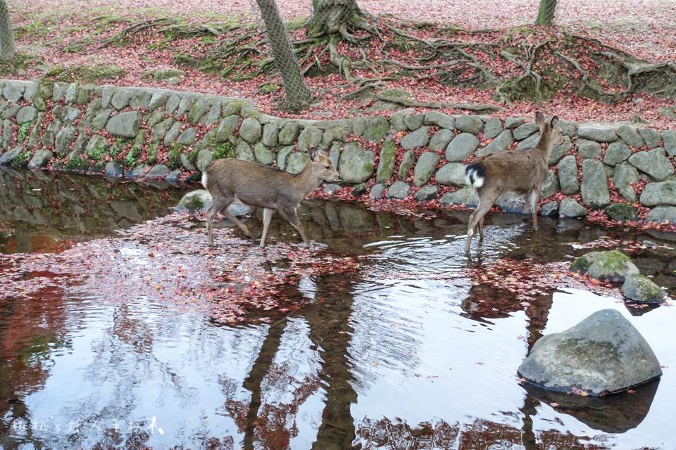 奈良景點》奈良公園尋找小鹿│餵小鹿吃鹿仙貝還可以賞楓!