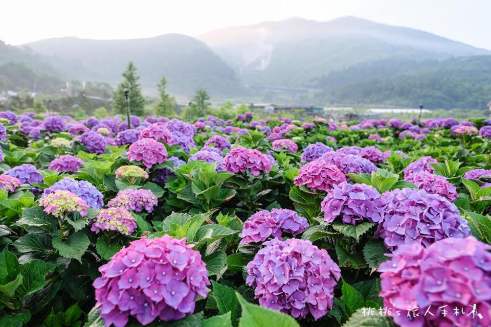 2018繡球花季》陽明山竹子湖 大賞園繡球花園│最新花況分享!