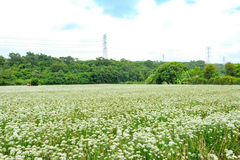 2018大溪韭菜花田》黃色小屋前的雪白花海│最新花況分享(9/15)