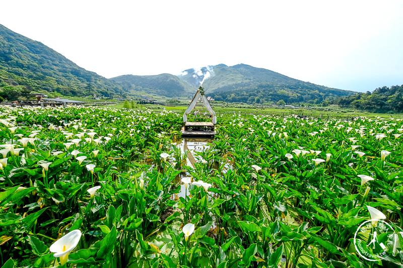 陽明山竹子湖海芋季│名陽匍休閒農莊 特色花海地景推薦