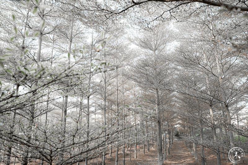 彰化景點》小葉欖仁森林│雪白冬季戀歌場景是假的! 自然原色就很美~