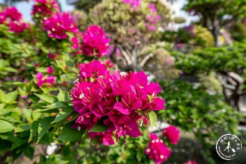 彰化景點》輝豐園藝九重葛之家│又到了盛開花期,花園迷宮朝聖去!