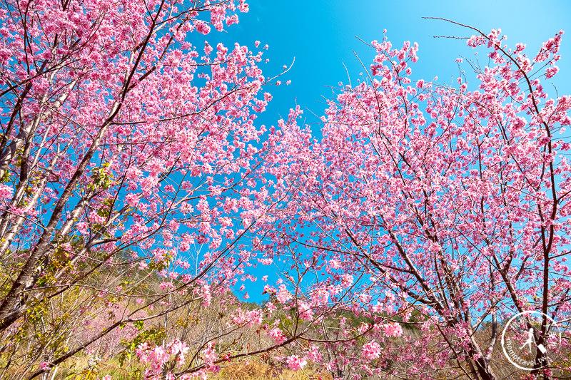 新竹尖石》司馬庫斯部落│櫻花秘境全面滿開中!