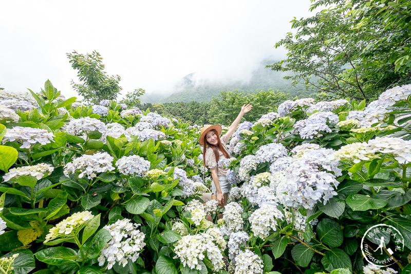台北繡球花》陽明山竹子湖 花與樹繡球花園│2020最新花況分享