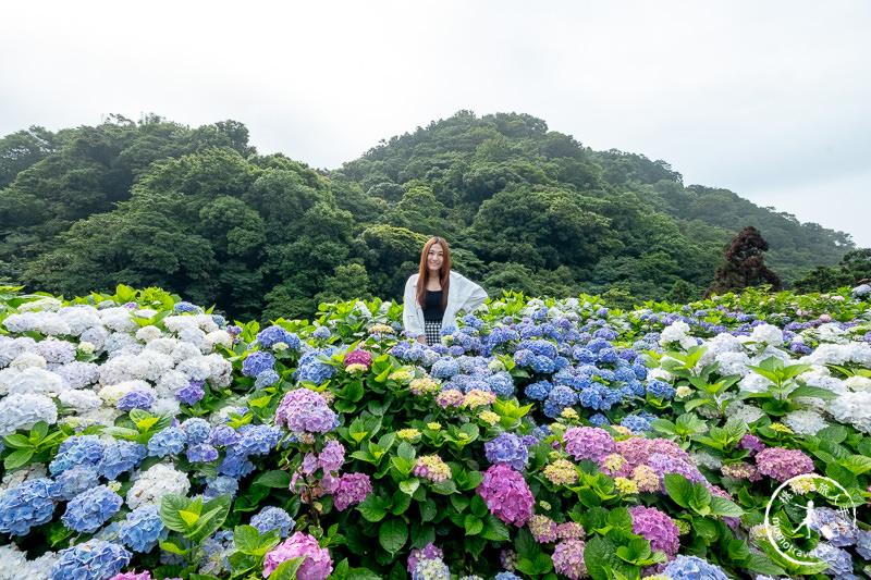 台北繡球花》陽明山竹子湖 大梯田花卉生態農園│2020最新花況分享