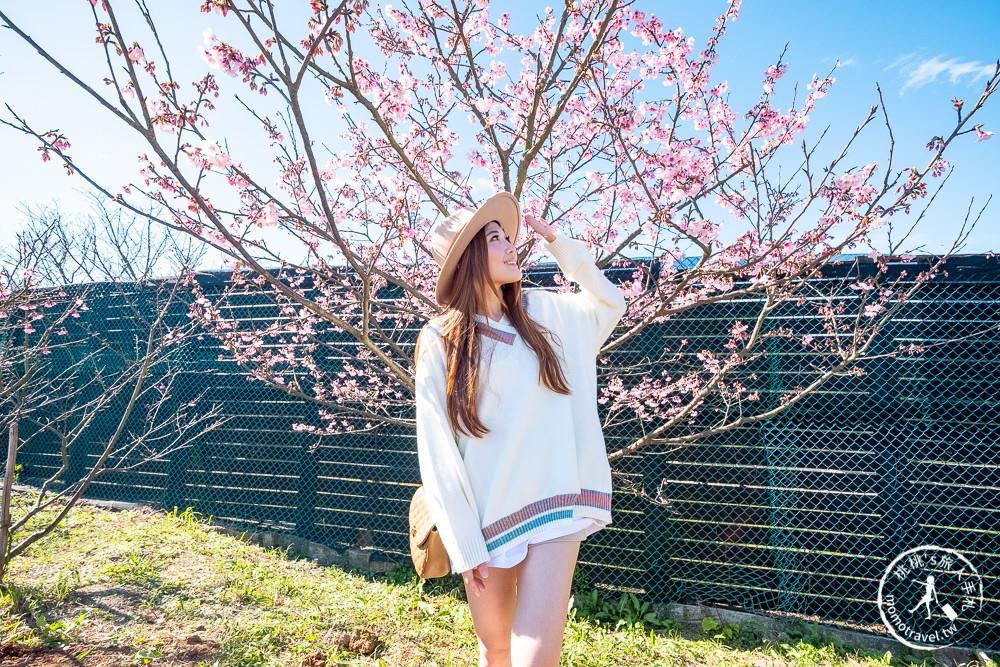 台北賞櫻景點》陽明山平菁街42巷-2021最新花況│櫻花季開跑! 注意假日交管停車!
